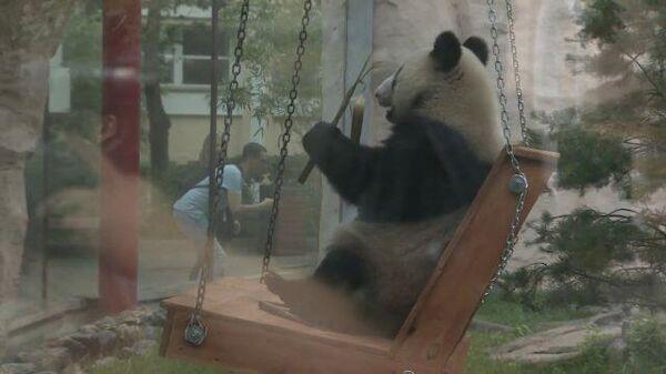 День рождения панд: как в Московском зоопарке поздравили Диндин и Жуи