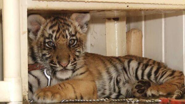 Вопиющий случай. В Челябинске спасают раненного вором тигренка