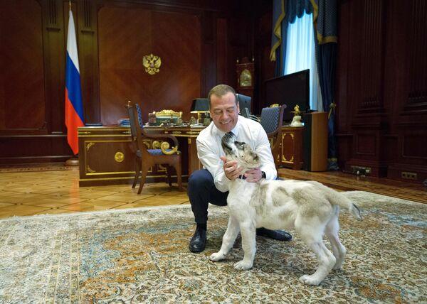 Председатель правительства РФ Дмитрий Медведев и щенок пятнистого алабая по кличке Айк в резиденции Горки