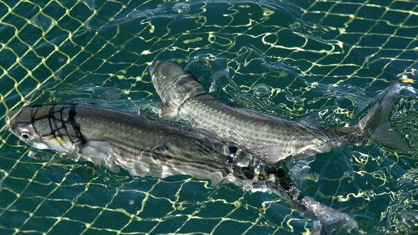 Рыба, пойманная в сеть