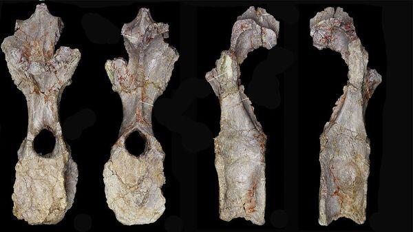 Некоторые из костей нового вида динозавров, представленные в пресс-релизе музея естественной истории в Лондоне