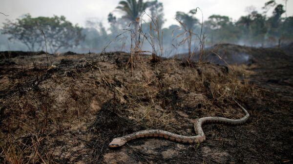 Змея среди горящих джунглей Амазонки, который зачищают лесорубы и фермеры. Порту-Велью, Бразилия, 24 августа 2019