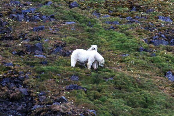 Самка белого медведя с медвежонком на острове Гукера в составе архипелага Земля Франца-Иосифа