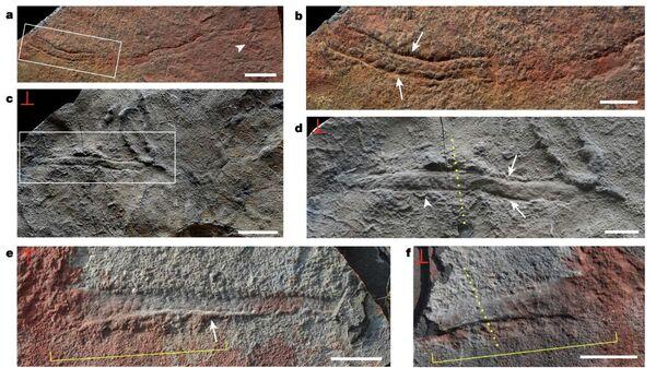 Окаменелости одних из самых древних подвижных и сегментированных билатерий, обнаруженные в Китае
