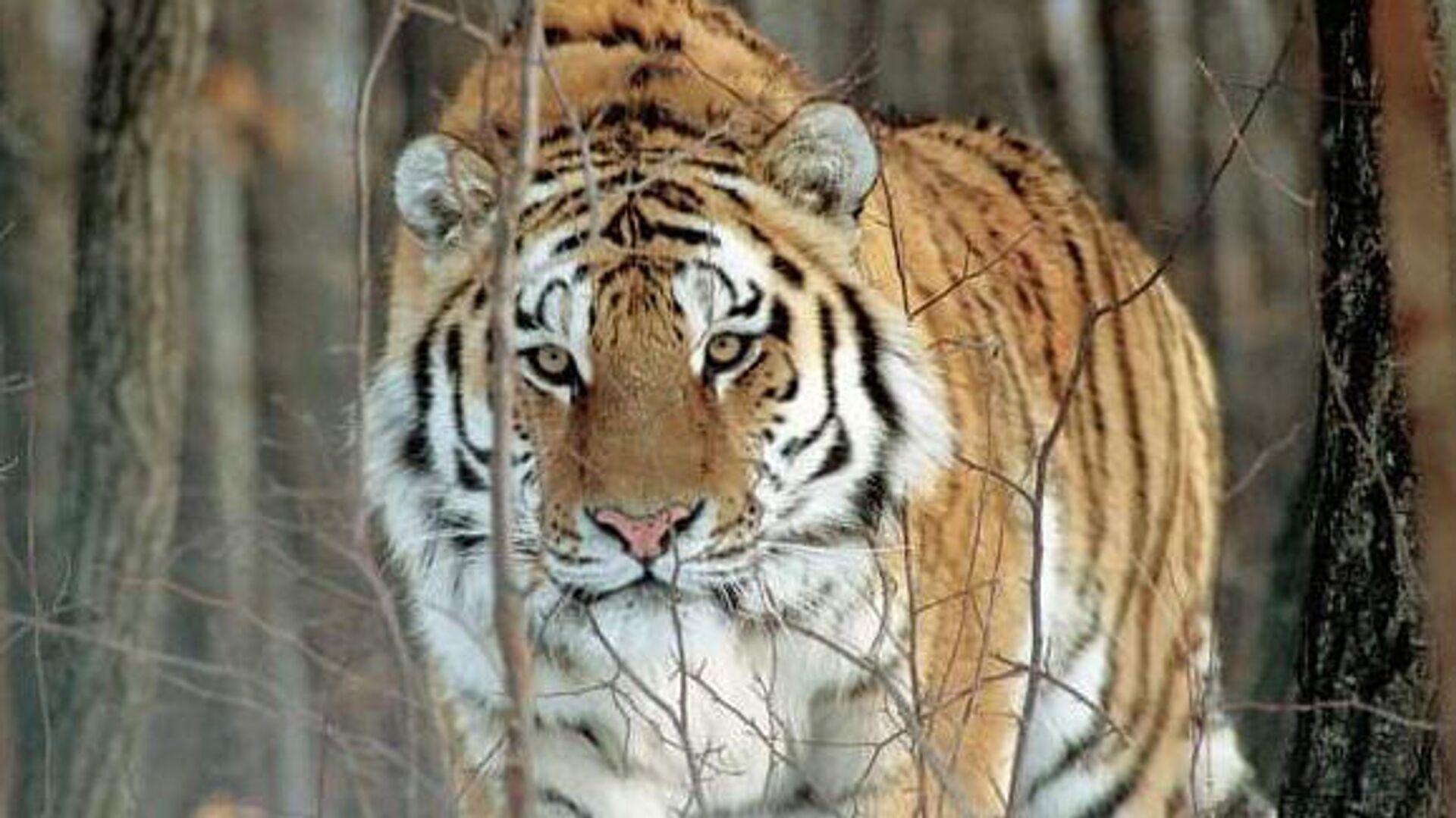 В Хабаровском крае начали проверку из-за обезглавленного тигра