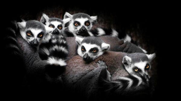 Кошачьи лемуры в Московском зоопарке