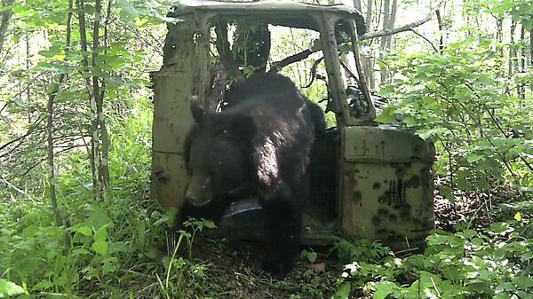 Фотоловушка в нацпарке Земля леопарда в Приморье запечатлела медведя в кабине брошенного грузовика ГАЗ-66