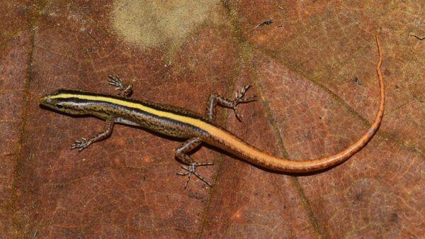 Ящерица, открытая в Индокитае