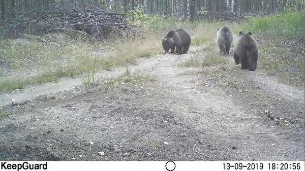 Медведи в  заповеднике Керженский