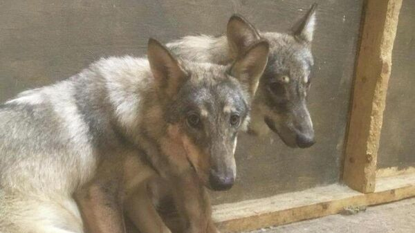 Двое животных, которые предположительно были волками