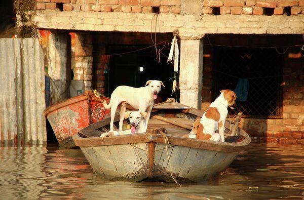Собаки во время наводнения в Аллахабаде, Индия
