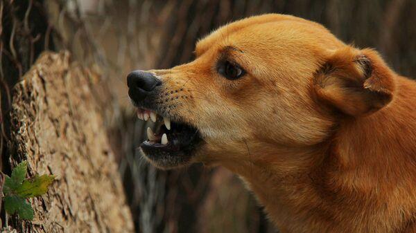 коронавирус у собак это