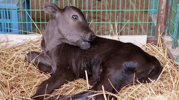 Корова, полученная  путем клонирования соматических клеток, взятых у взрослой коровы в заповеднике японской префектуры Исикава в Японии. 8 июля 1998