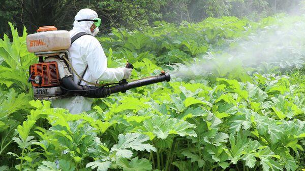 Сотрудник службы дезинфекции обрабатывает гербицидами борщевик в Подмосковье
