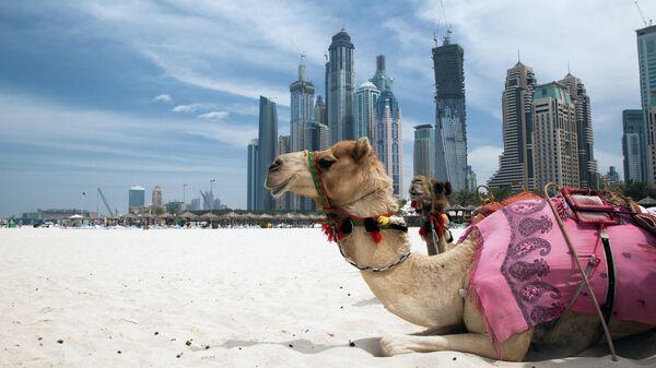 Верблюды в Дубае, ОАЭ