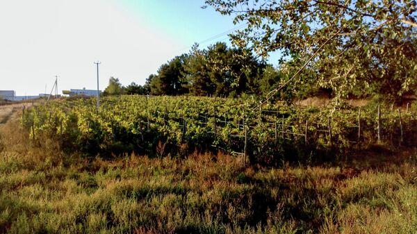 Виноградники в Азове
