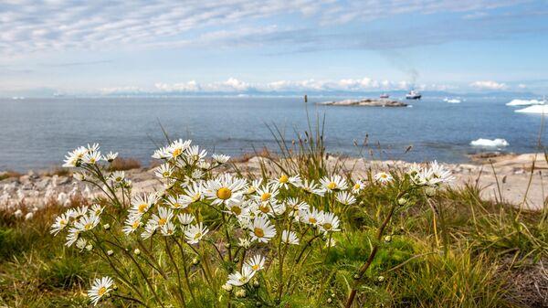 Цветы, растущие в городе Илулиссат на острове Гренландия