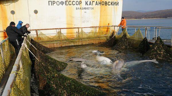 Погрузка последней группы белух из так называемой китовой тюрьмы в бухте Средняя