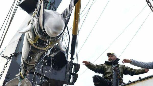 Погрузка белух из так называемой китовой тюрьмы в бухте Средняя