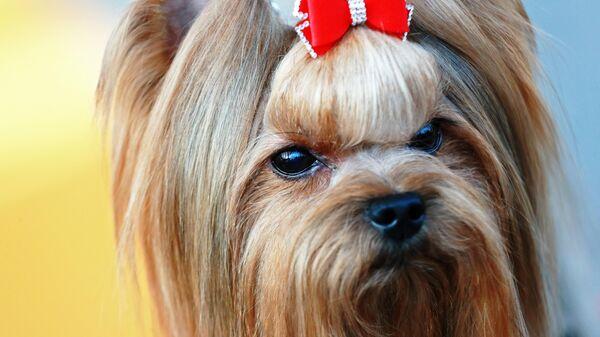 Собака породы йоркширский терьер на международной выставке собак в Москве