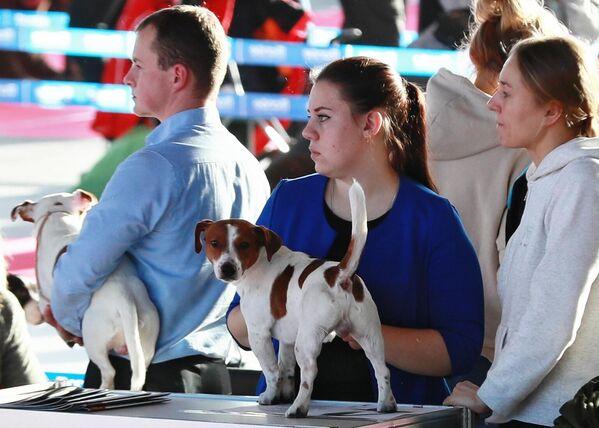 Собаки породы джек-рассел-терьер на международной выставке собак в Москве