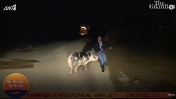 В Греции свинья напала на журналиста в прямом эфире