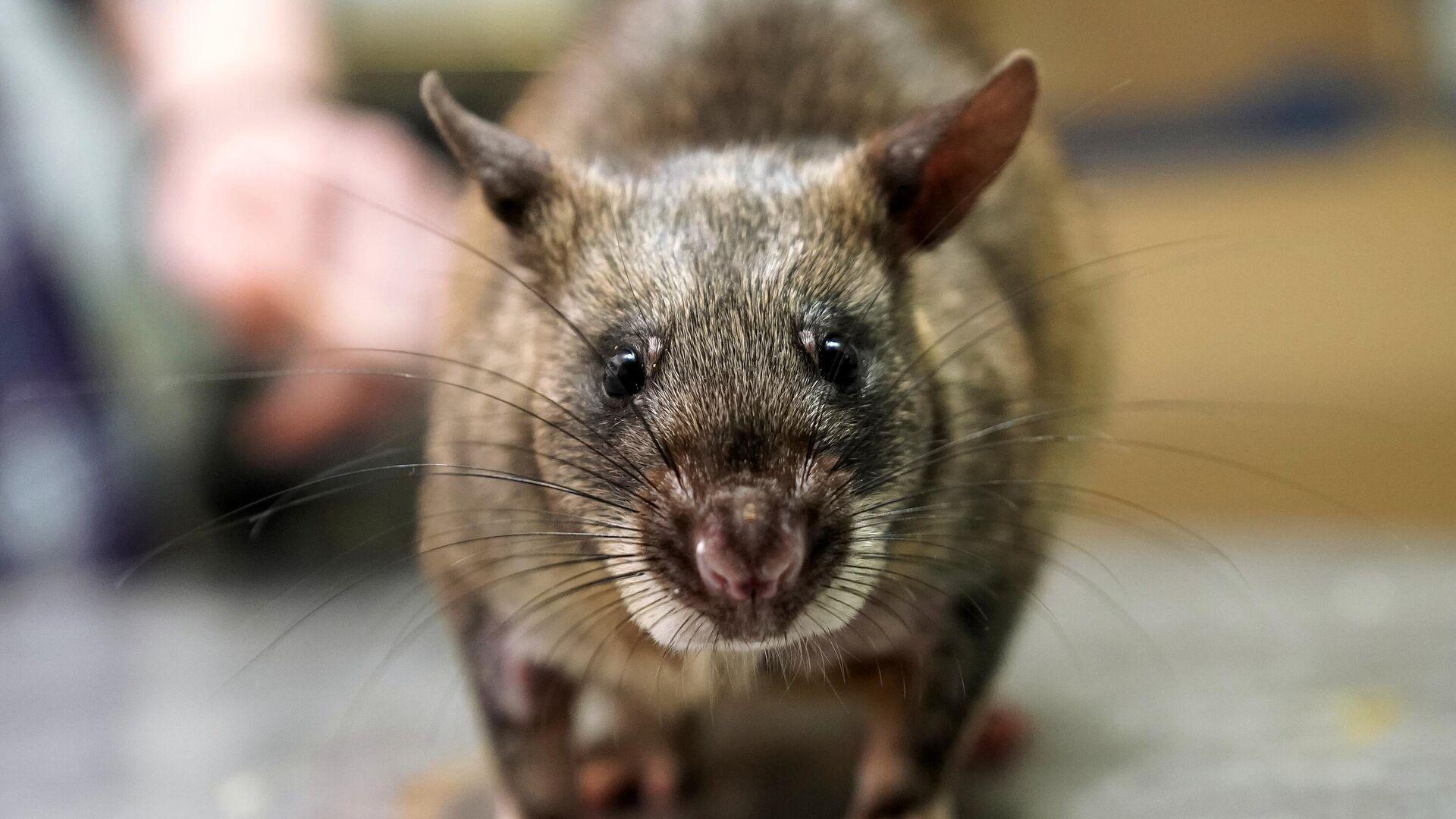 Гигантская крыса Гамби - РИА Новости, 1920, 06.11.2020