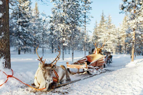 Катание на оленьей упряжке в Лапландии