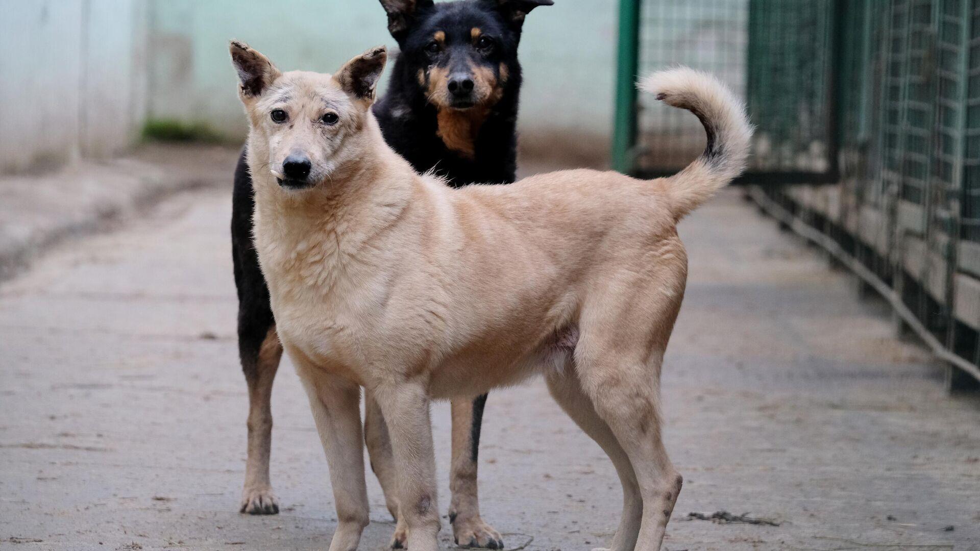 Собаки гуляют на территории приюта для бездомных животных Зоорассвет в Кусково - РИА Новости, 1920, 12.01.2021