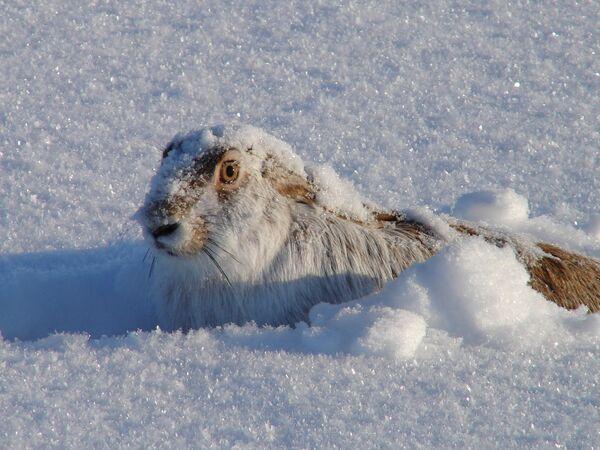 Снежный русак