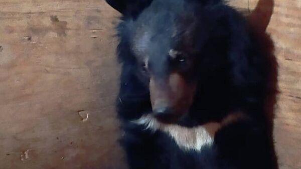 Гималайский медвежонок в Центре Тигр