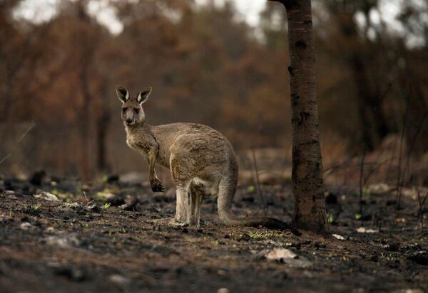 Раненый кенгуру в Кобарго, Австралия