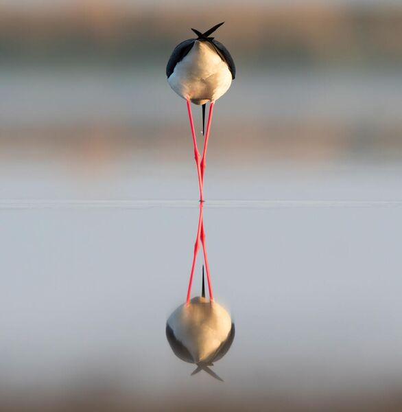 Ходулочник кормится на озере в Ставропольском крае. Раннее майское утро. Антон Мостовенко, номинация Птицы