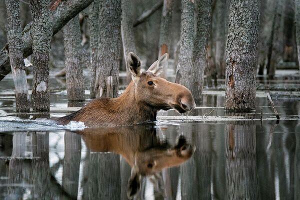 Плывущий по лесу. Дмитрий Вилюнов – абсолютный победитель конкурса Дикая природа России