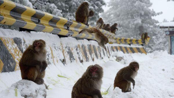Обезьяны на улице во время снегопада в Аюбии, примерно в 75 км к северу от Исламабада.