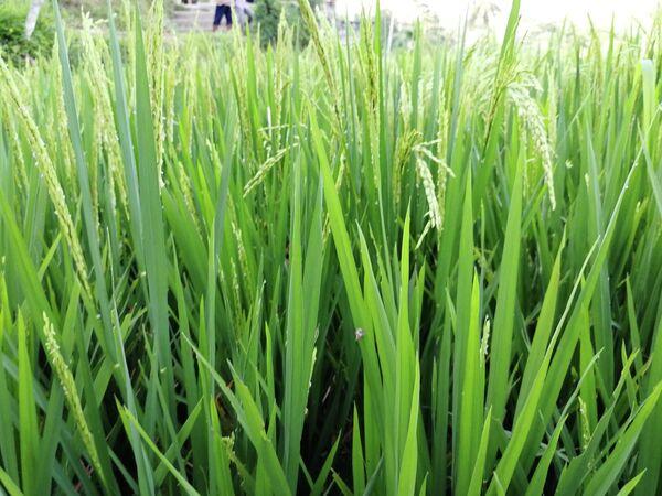 Бали. Ростки риса на рисовой террасе