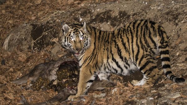 Амурская тигрица