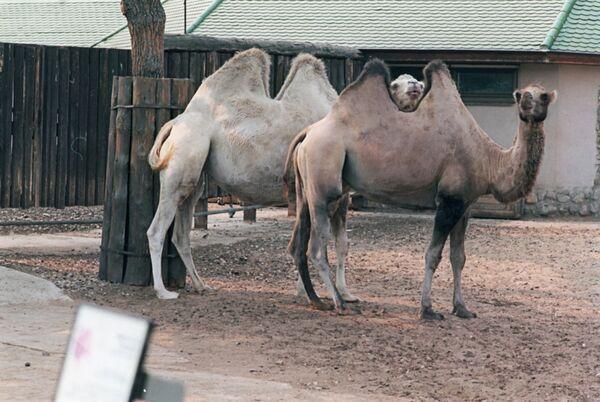 Верблюды. Архив