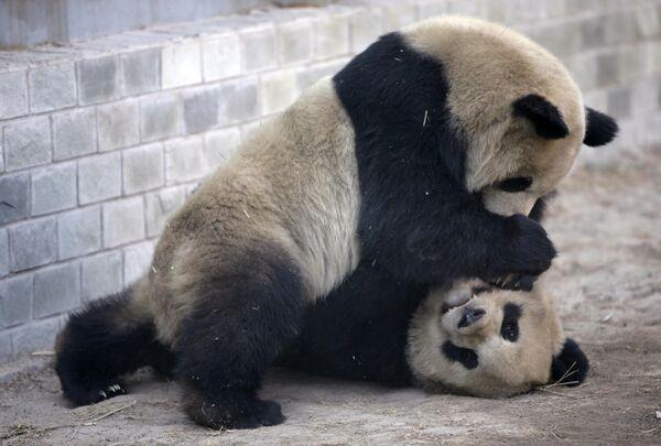 Шутка газеты на Тайване про панд возмутила политиков