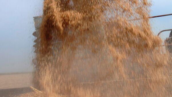 Уборка урожая риса на Кубани