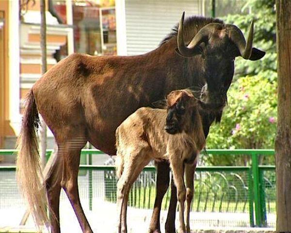 Антилопа гну и мускусная свинья – новорожденные Московского зоопарка