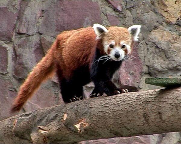 Красные панды поселились в Московском зоопарке