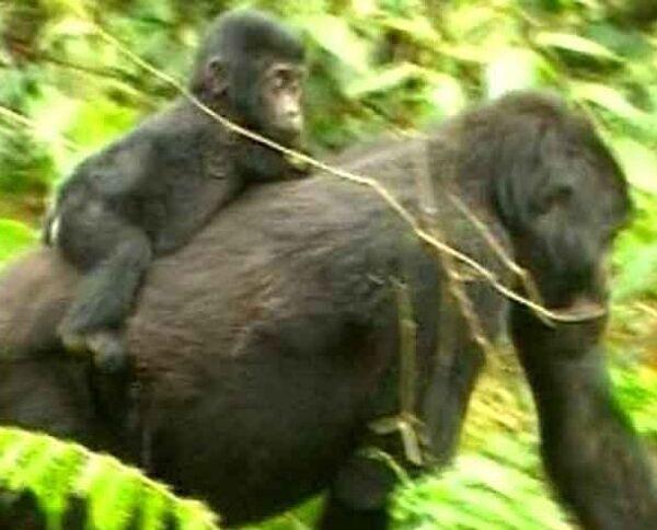 Экотуризм в Уганде: и гориллы целы, и туристы довольны