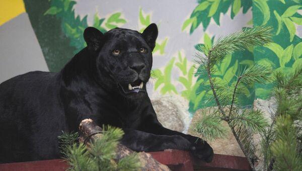 Черный ягуар - питомец зоопарка Екатеринбурга. Архивное фото
