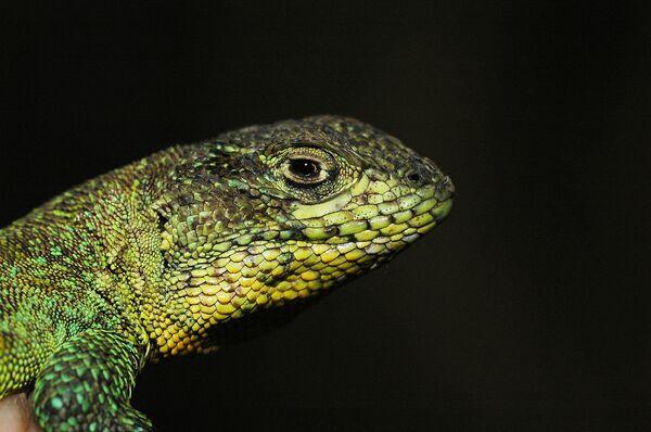 Многие ящерицы, подобные этой безымянной представительнице рода Liolaemus, обитающей в Боливии, могут полностью исчезнуть, не оставив никаких следов для науки