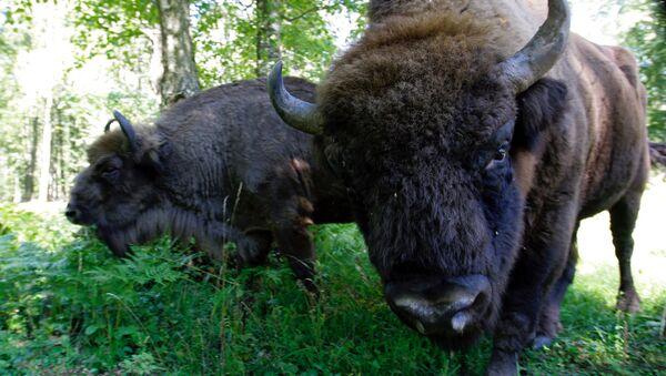 Зубры - обитатели Приокско-террасного боисферного заповедника