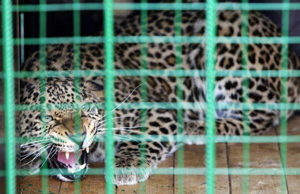 Леопард. Архив