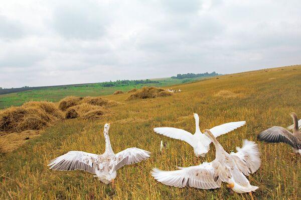 Дикие гуси на полях