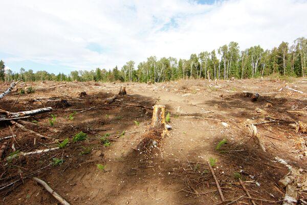 Вырубка на месте предполагаемого строительства платной автодороги в Химкинском лесу.