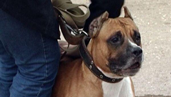 Эксперты объяснили, почему бойцовые собаки иногда нападают на людей